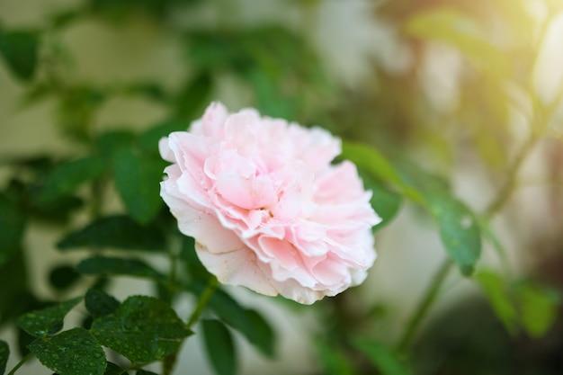 Mooie kleurrijke roze rozen bloeien in de tuin