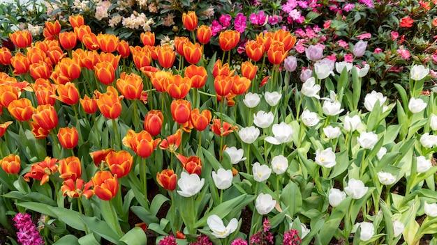 Mooie kleurrijke tulpen in tuinaard in de lente