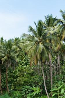 Mooie kokospalmen bomen in het tropische woud met blauwe lucht op het eiland in thailand