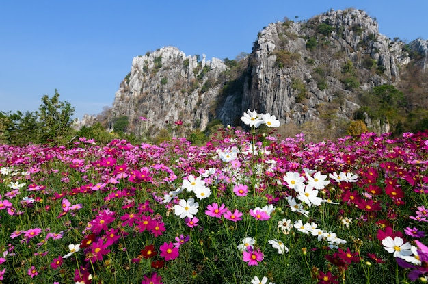 Mooie kosmosbloemen die op kosmosgebied bloeien