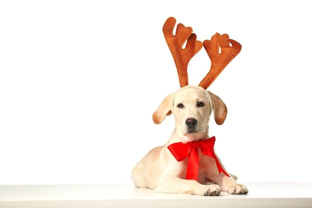 Mooie labrador retriever met rode strik en decoratieve hertenhoorns geïsoleerd op een witte achtergrond