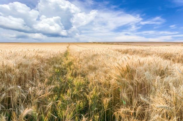 Mooie landelijke scène van gerstgebieden op zonneschijndag