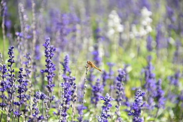 Mooie lavendelbloem die met libellen in de tuin bloeit.