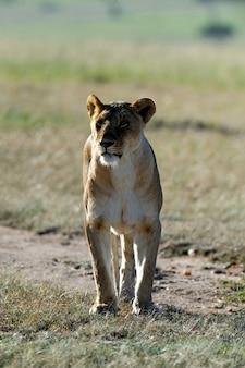 Mooie leeuw in het gras van masai mara, kenia