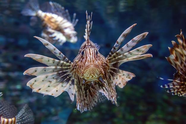 Mooie leeuwvis die in het midden van het water zweeft op jacht naar kleine prooien in blauw water