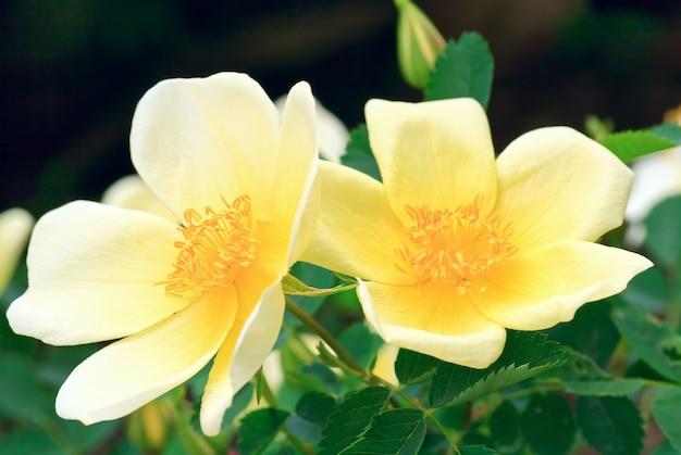 Mooie lentestruik met gele bloemen