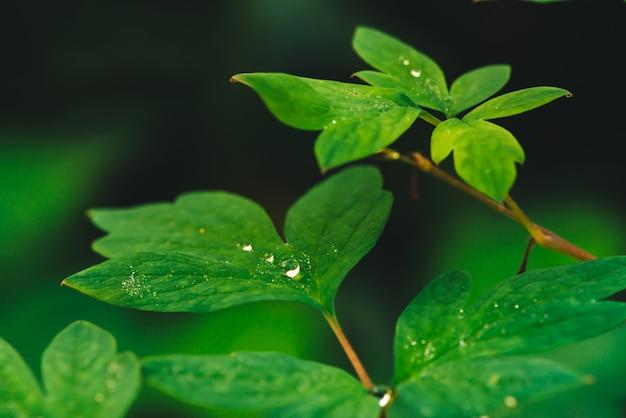 Mooie levendige groene bladeren van dicentra