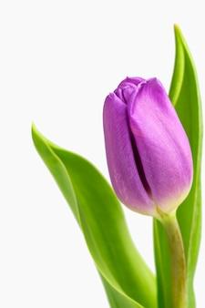 Mooie lichtpaarse tulpen met geïsoleerde bladeren. lentebloemen en planten.