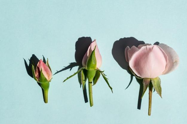 Mooie lichtroze rozenknoppen op een blauwe achtergrond. trendy minimalisme-stijl met harde lichte en donkere schaduwen.