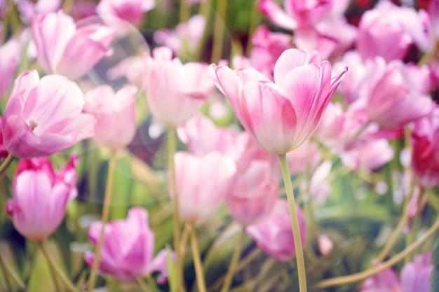 Mooie lichtroze tulpenbloem met zonlichtachtergrond.
