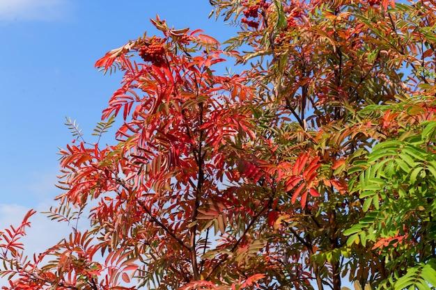 Mooie lijsterbes met rode en groene bladeren, rijpe bessen op blauwe hemel