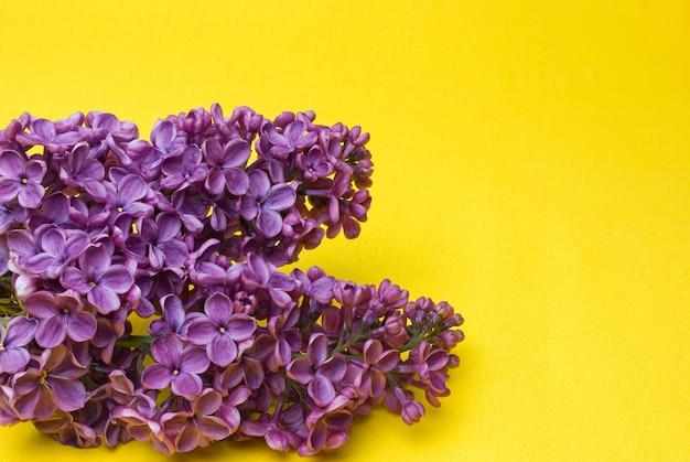Mooie lila syringa bloemen binnenshuis close-up op een gele achtergrond