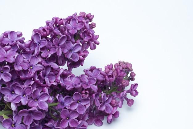 Mooie lila syringa bloemen binnenshuis close-up op een witte achtergrond