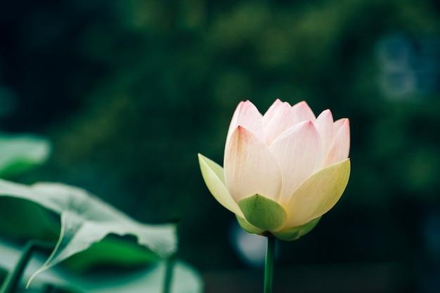 Mooie lotusbloem met groen blad in in vijver