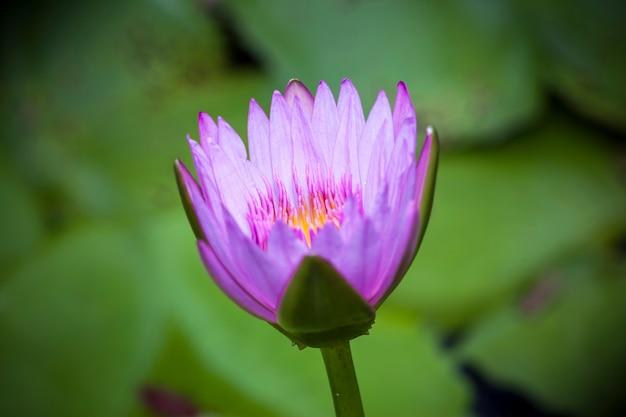 Mooie lotusbloem of waterlelie