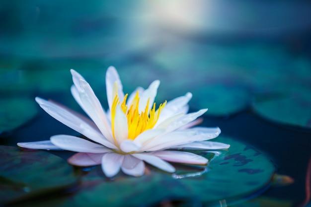 Mooie lotusbloembloem of waterlelie op oppervlakte van blauwe vijver