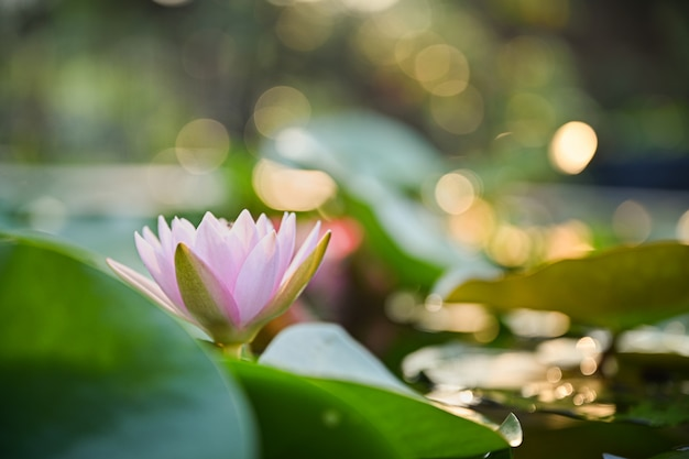 Mooie lotusbloembloem op het water na regen in tuin met bokeh.