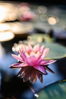 Mooie lotusbloembloem op het water na regen in tuin.