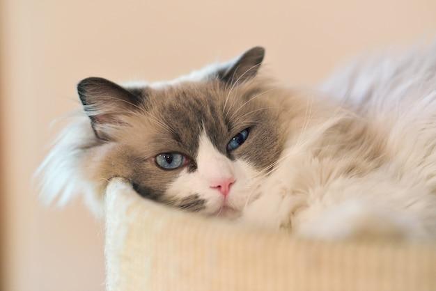 Mooie luie langharige kat met blauwe ogen liggend op een kussen