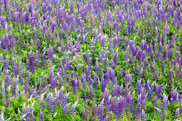 Mooie lupine bloem blauwe close-up echte kenmerken van de natuur in de lente van het jaar