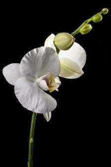 Mooie macro witte orchidee