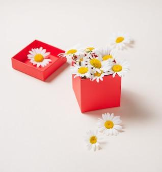 Mooie madeliefjebloemen in een rode geschenkdoos op een witte achtergrond. vooraanzicht en kopie ruimte afbeelding