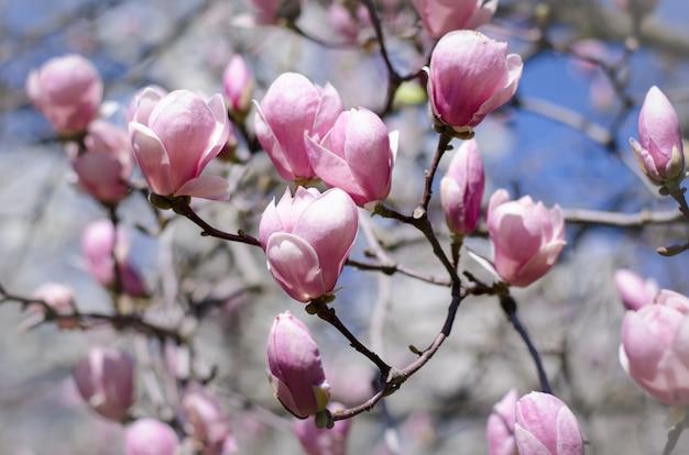 Mooie magnoliaboom komt in de lente tot bloei.