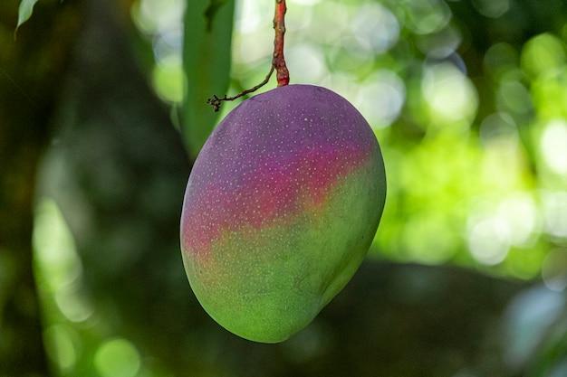 Mooie mango's aan de boom