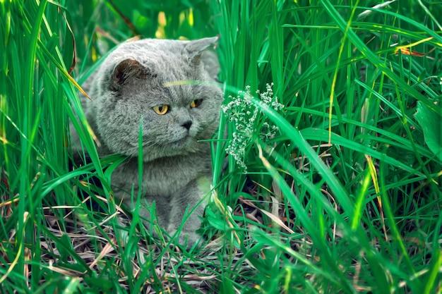 Mooie mannelijke britse korthaar kat liggend in hoog groen gras op platteland