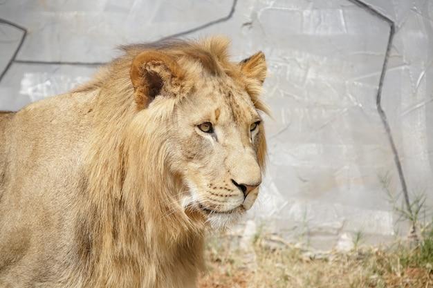 Mooie mannelijke en geelachtige leeuw voor bos foto achtergrond