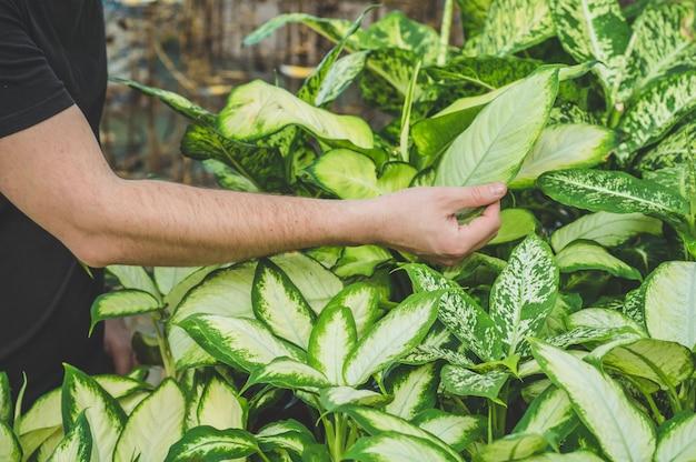 Mooie mannelijke klant kiest ficusplanten in de winkel. tuinieren in serre. botanische tuin, bloementeelt, tuinbouwconcept