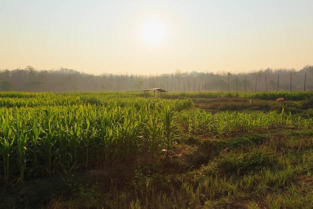 Mooie ochtend het maïsveld