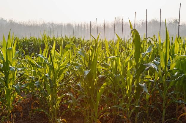 Mooie ochtend het maisveld