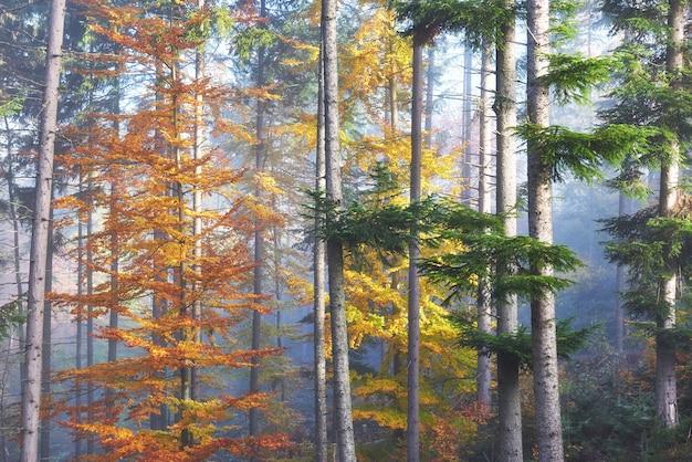 Mooie ochtend in mistige herfst bos met majestueuze gekleurde bomen.