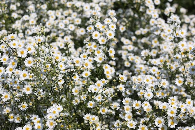 Mooie ochtendbloemen madeliefjes in de tuin bloeien