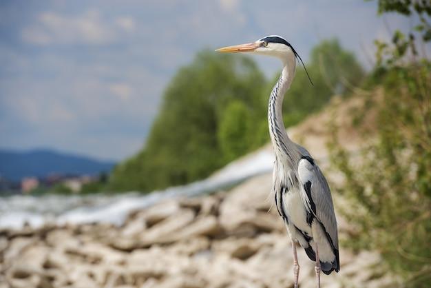 Mooie ondiepe focus shot van een langbenige zoetwatervogel genaamd reiger staande op een rots
