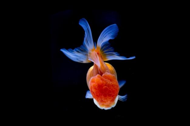 Mooie oranda-goudvis die die in de tank zwemmen op zwarte wordt geïsoleerd.