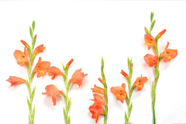 Mooie oranje gladiolenbloemen