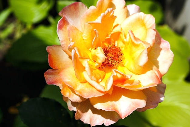 Mooie oranje roos in de tuin