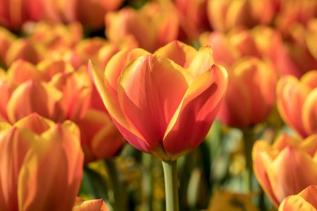 Mooie oranje tulp