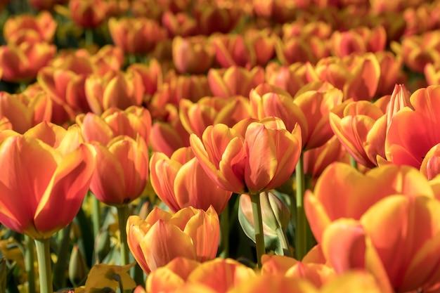 Mooie oranje tulpen