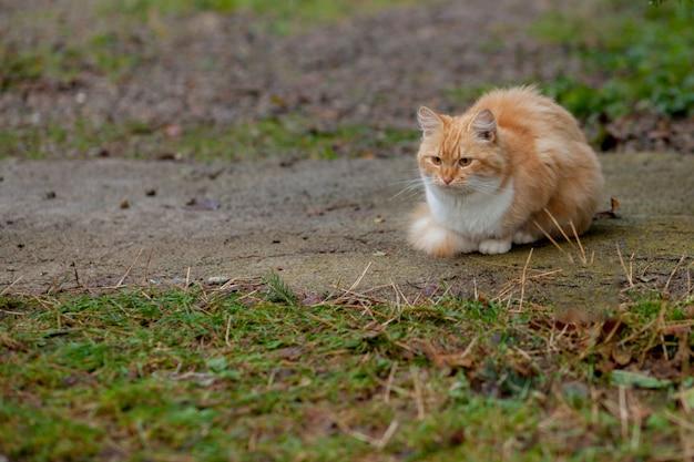 Mooie oranje-witte kat komt buiten in de natuur