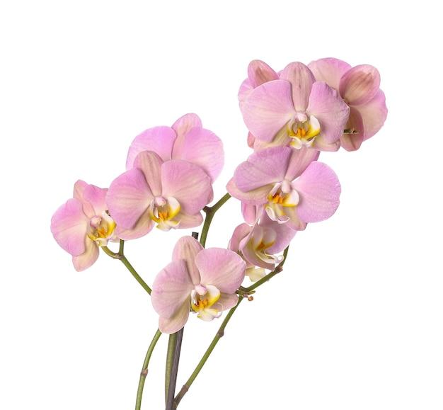 Mooie orchidee bloemen geïsoleerd