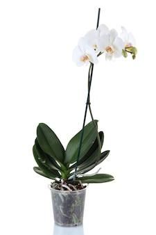 Mooie orchidee, geïsoleerd op wit