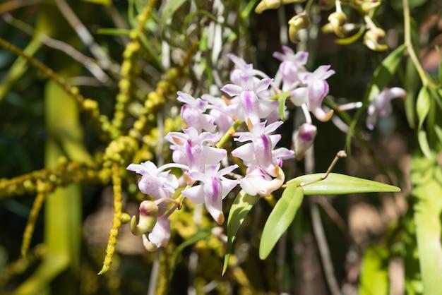 Mooie orchidee met zachte geur in tuin, rhynchostylis-coelestis