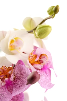 Mooie orchideeën, geïsoleerd op wit