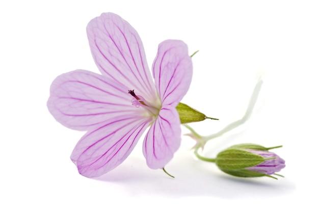 Mooie paarse bloem geïsoleerd op wit