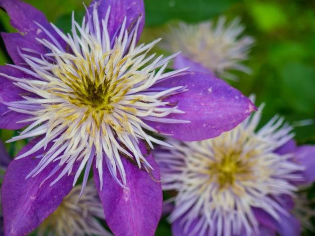 Mooie paarse clematis close-up voor achtergrond
