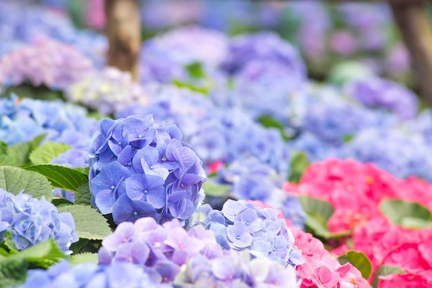 Mooie paarse hortensia bloemen in de natuur tuin paarse hortensia bloemen boeket bloemen Premium Foto