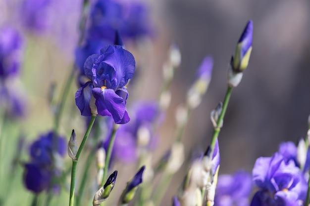 Mooie paarse irisbloemknop